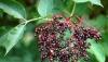 Zova nektar zdravlja