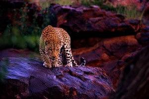 sri-lanka-main-Leopard