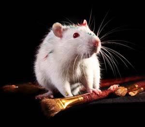 Beli miš