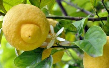 Divlji limun topi kilograme